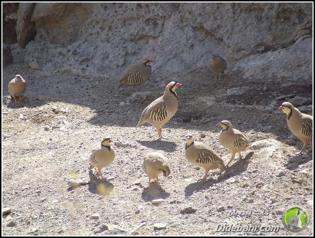 پرنده زیبای دیده بانی : کبک و تیهو