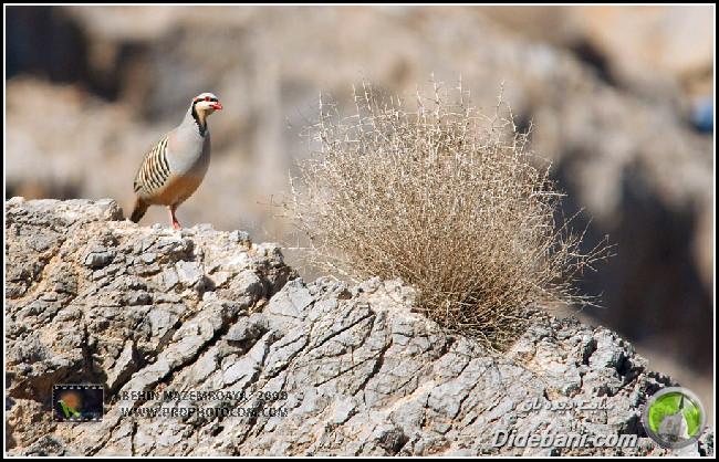 پرنده زیبای دیده بانی : کبک