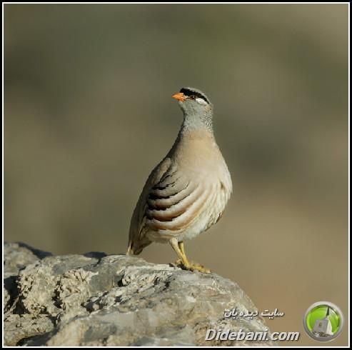 پرنده زیبای دیده بانی :  تیهو